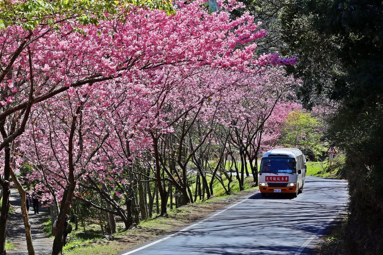 武陵農場櫻花季賞櫻專車