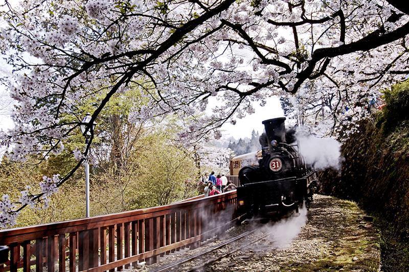 阿里山花季 阿里山櫻花季 阿里山國家森林遊樂區 花季