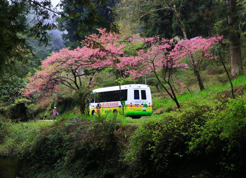 阿里山櫻花季 交通管制 交通疏運