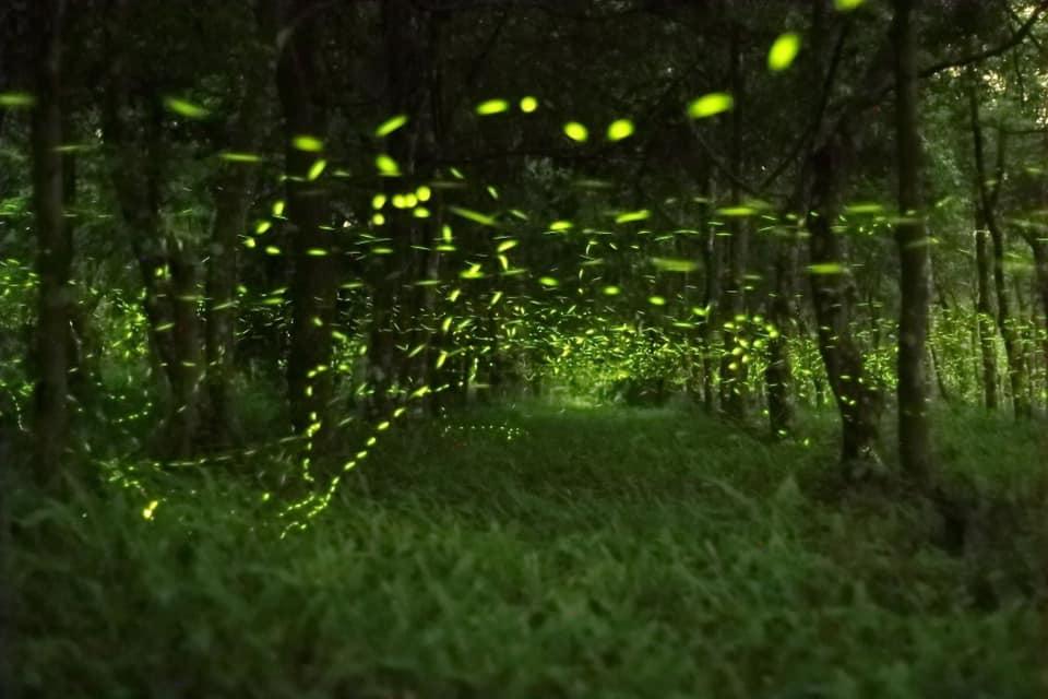 花蓮大農大富 螢火蟲 大農大富 賞螢活動 大農大富平地森林園區