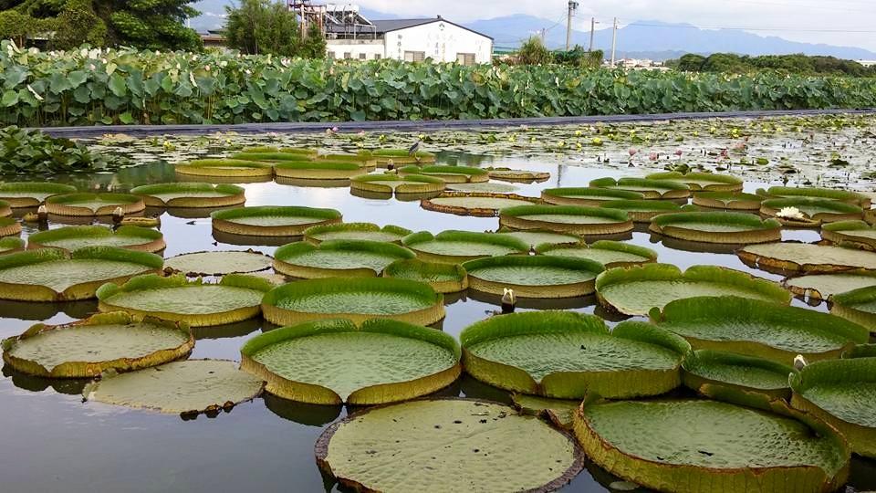 白河蓮花季,台南,台南白河蓮花季,2021 白河蓮花季