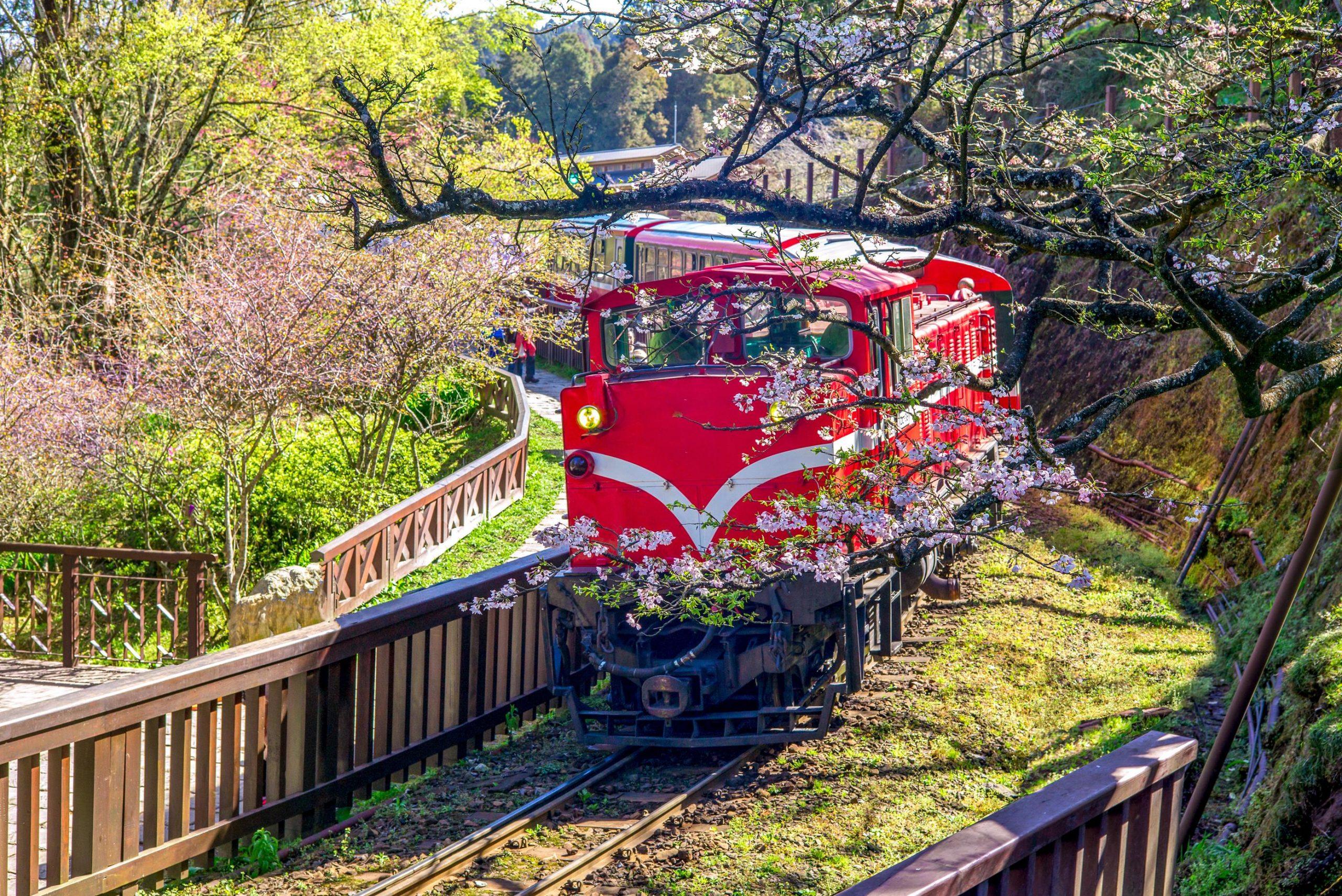 阿里山櫻花季 阿里山花季 阿里山國家森林遊樂區 花季
