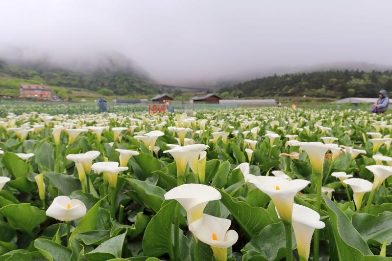 陽明山竹子湖海芋季 繡球花季