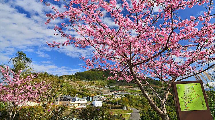 阿里山櫻花季 阿里山 花季 阿里山國家森林遊樂區