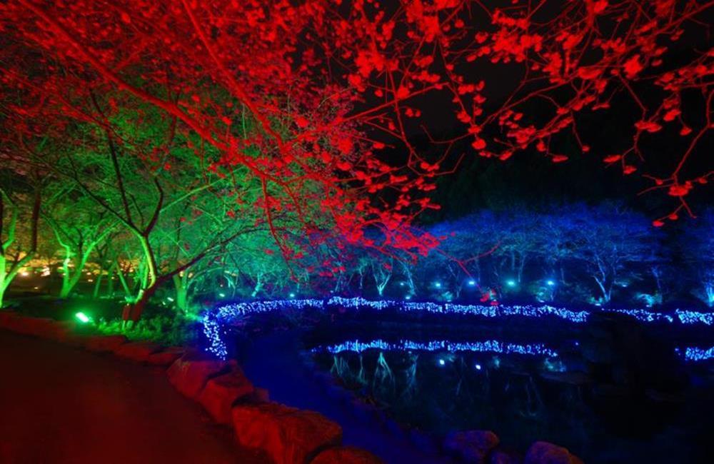 九族文化村櫻花祭 夜櫻