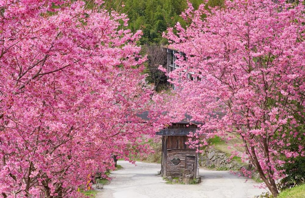 司馬庫斯櫻花季