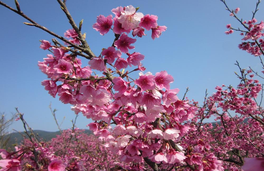 陽明山花季