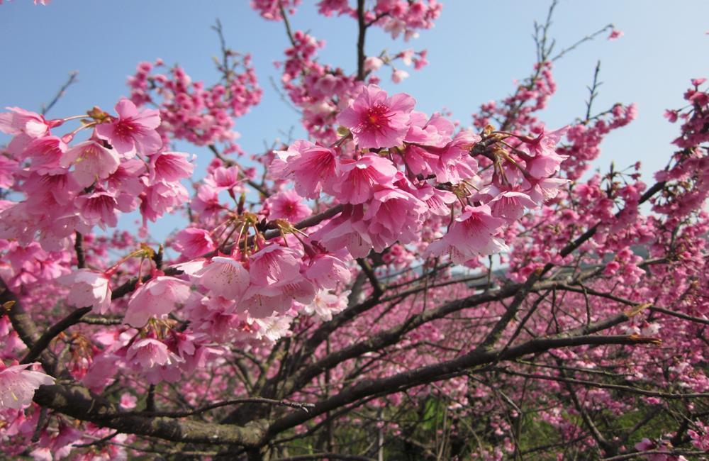 平菁街42巷櫻花