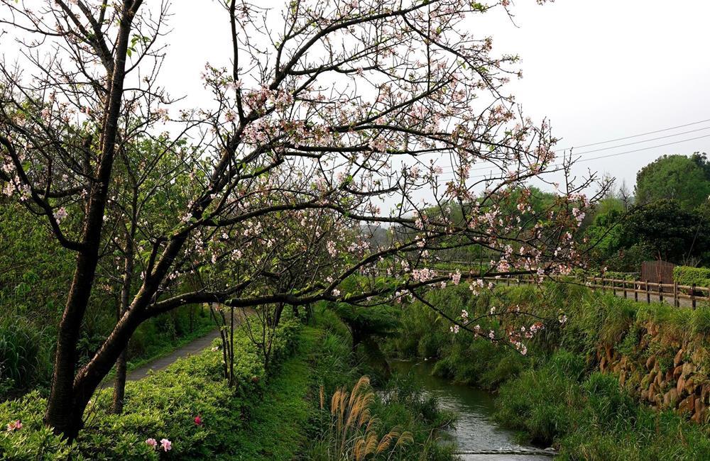 三生步道櫻花